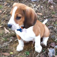 Ruger (beagle puppy)