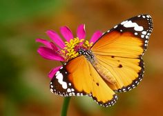 Danaus chrysippus  ( Mariposa tigre )