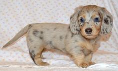 Future Parents - Washington State and Oregon dachshund puppies - homemade xmas - Dapple Dachshund Puppy, Dachshund Puppies For Sale, Dachshund Love, Baby Puppies, Dogs And Puppies, Cute Puppies, Big Dogs, Baby Weiner Dogs, Chihuahua Dogs