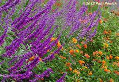 There's Mexican bush sage (Salvia leucantha) and an orange lantana…