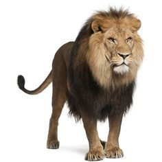Lion, Panthera leo, 8 years old, standing ❤ liked on Polyvore featuring animals, dolls, filler and lion
