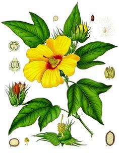 Västindisk bomull (Gossypium barbadense)