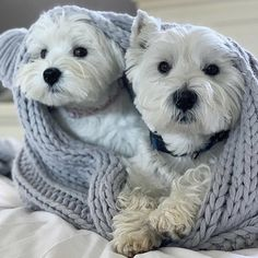 Westie Puppies, Westies, Doggies, Dogs And Puppies, Terrier Dogs, Terriers, Adorable Puppies, West Highland Terrier, White Terrier