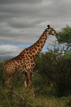 Giraffe from Kruger National Park