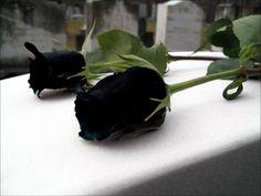 rosa_negra_5