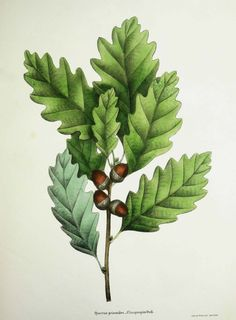 rhamphotheca:    scientificillustration:Quercus prinoides, commonly known as Dwarf Chinkapin Oak