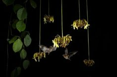 PHOTOGRAPH BY MERLIN D. TUTTLE, NATIONAL GEOGRAPHIC The flowers of the sea bean, a woody vine that blooms only at night, are highly specialized for bat pollination.
