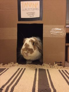 Bunny in his hideout! Only the best bananas for Weatherby. House Rabbit, Pet Rabbit, Rescue Dogs, Animal Rescue, Box Houses, Bananas, Dog Love, Adoption, Pets