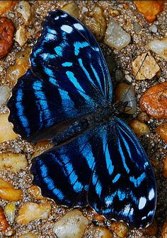 ~~Butterfly: Tropical Blue Wave Myscelia Cyraniris by I remember my grandmother's tray of wings. Butterfly Kisses, Butterfly Flowers, Blue Butterfly, Flying Flowers, Madame Butterfly, Beautiful Creatures, Animals Beautiful, Beautiful Bugs, Beautiful Butterflies