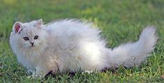 love Australian Tiffanie breed of cats