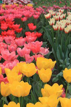 tulipe, By Cleciodelacerda