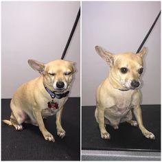 Shorty #terasgrooming #Chihuahua #Terastreets