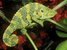chameleons - Google Search