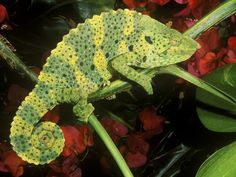 Meller's Chameleon on a Branch  Photograph by Marian Bacon/Animals Animals—Earth Scenes  Meller's chameleons are also called giant one-horned chameleons because of their large size and the small horn protruding from the front of their snouts.