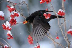 Blackbird (Turdus merula) | by m. geven