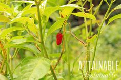 Everything Plants and Flowers: How to Grow Hot Peppers - Attainable Sustainable