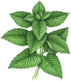 Botanical watercolor painting of a mint plant.