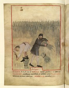 Nouvelle acquisition latine 1673, fol. 47v, Paysan(s) gerbant de l'orges. Tacuinum sanitatis, Milano or Pavie (Italy), 1390-1400.