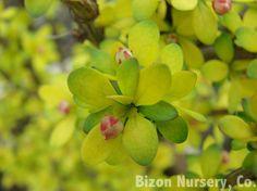 Berberis thunbergii 'Pow Wow - Hess Landscape Nursery ...