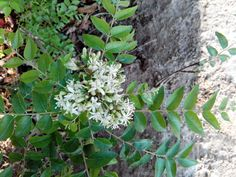 curry leaves flowers