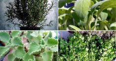 Herb garden Learn 9 Easy growing Herbs for your beginners Herb garden in this article. Growing Poppies, Growing Hibiscus, Hibiscus Plant, Growing Ginger, Growing Herbs, Growing Tree, Planting Shrubs, Flowering Shrubs, Planting Flowers