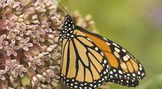 Servindi » Monsanto deja al borde de la extinción a la mariposa más emblemática de Norteamérica | Servicios en Comunicación Intercultural Servindi