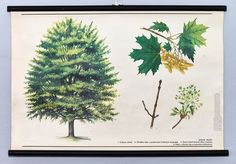 Items similar to Vintage original school wall chart botanical Maple poster. Rare home decor. With wood sticks. Wood Sticks, Botanical Wall Art, Geometric Art, Picture Wall, Wall Art Decor, Signage, Contemporary Art, Chart, The Originals