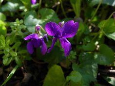 Photo: Viola odorata à fleurs plus grandes et plus teintées de rouge que le type