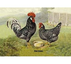 East Urban Home 'Chickens: Anconas' Framed Oil Painting Print Size: H x W, Frame Color: Espreeso Antique Prints, Vintage Prints, Vintage Art, Vintage Poster, Vintage Stuff, Chicken Painting, Chicken Art, Hen Chicken, Chicken Crafts