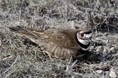 Killdeer are loud tricksters; Birds will fake broken wing to protect nests