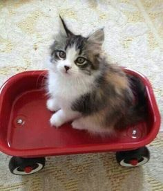 #Cute fluffy #kitten with a heart shaped black nose in a small red wagon. There is nothing else cuter than this! Have a great Monday #CatLovers. ~Me