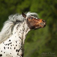 Appaloosa pony stallion Amani, ow. Julia Krasovskaya.