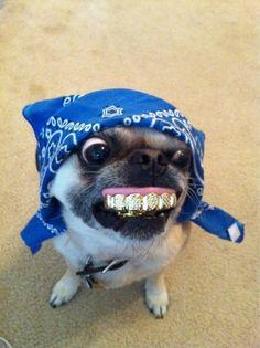 Gangsta pug