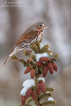 Fox Sparrow.  Lovely little song bird, I love sharing my yard with the little Fox Sparrow.  He has such a melodious song.