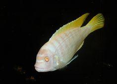 premium quality pet fish for your aquarium clown afra cobue cichlid ...