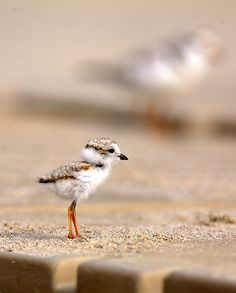 """Piping Plover chick says, """"I can't wait to run to the ocean, run away from it when a wave comes, and then do it all over again ALL DAY!"""""""
