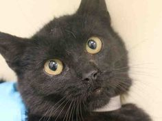 TO BE DESTROYED 04/09/15 - RUSEV - A1032211 - BROOKLYN, NYSWEET PANTHER BABY LOOKING FOR LOVE.....RUSEV was very nervous and tried to flee but responded to petting and soft talking...Only 6 months old, RUSEV just needs TLC and TIME....PLEASE OFFER TO FOSTER OR ADOPT THIS LITTLE EBONY PRINCE....The ACC wants to kill him because he has a cold...DON'T LET THEM GET AWAY WITH IT!!