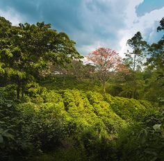 Our Indian Monsooned Malabar has grown on the Badra Estate since 1943 and is intercropped with pepper, coconut and cardamom. (Photo credit: Badra Estate)  #coffeeiseducational #COTM #CoffeeOfTheMonth #india #monsoonedmalabar #monsoon #IndianOcean #FreshCoffee #coffee #caffeine #coffeeaddict #coffeelovers #freshlyroasted #coffeebeans #qualitybeans #zabucoffee #coffeetime #coffeebreak