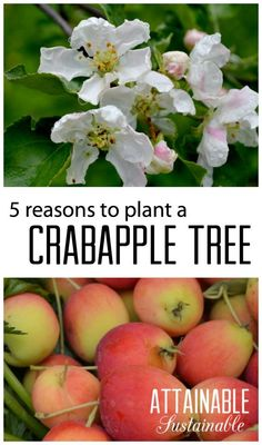 "A crabapple is a great addition to small gardens and orchards, plus they offer some surprising benefits! Consider adding one to your ""must plant"" list."