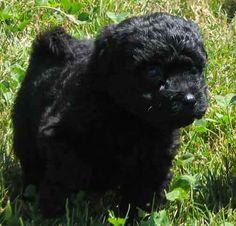 Puli dog photo | Puppies for Sale - Komondor and Puli Puppy