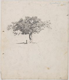 MORETON BAY FIG AT MILTON: LLOYD REES