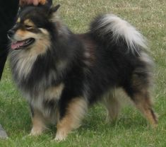 """Image source: This is a modern day Finnish Lapphund. """"Finnish Lapphund Glenchess Revontuli"""" by Apdevries [2] - english wikipedia [1]. Licensed under CC BY-SA 2.5 via Wikimedia Commons"""
