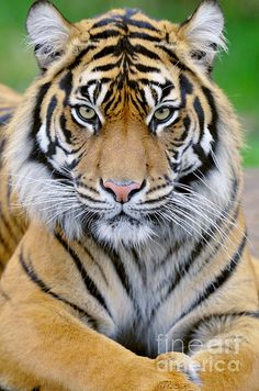 National animal of tiger hd wallpaper picture collection - Life Is Won For Flying (WONFY) Tiger Pictures, Animal Pictures, Beautiful Cats, Animals Beautiful, Tiger Fotografie, Tiger Photography, Big Cats Art, Wild Tiger, National Animal