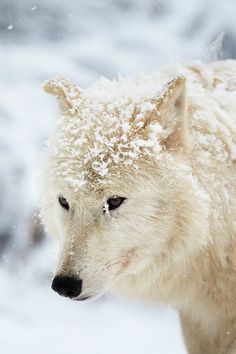 Teenagers. Everything is so apocalyptic Beautiful Wolves, Animals Beautiful, Cute Animals, Wild Animals, Tier Wolf, Arctic Wolf, Wolf Love, Wolf Pictures, Wild Dogs
