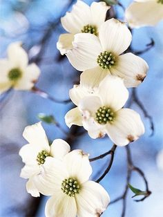 dogwood by lindsey