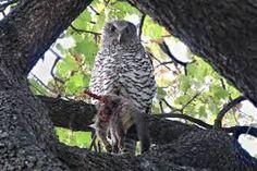 Finally found the lost cat!  Powerful Owl, Ninox strenua