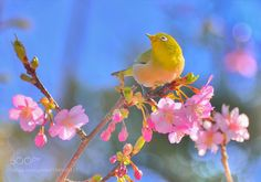 Cherry Blossom and White-eye by kkoutaro #nature #mothernature #travel #traveling #vacation #visiting #trip #holiday #tourism #tourist #photooftheday #amazing #picoftheday