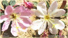 Wyoming Wildflower - Primrose