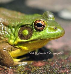 Metallic Green Frog