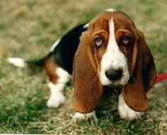 pequeño basset hound